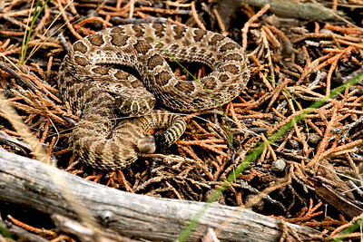 IMG_8606 rattle snake