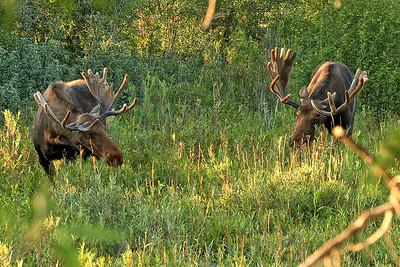 IMG_9479 2 moose
