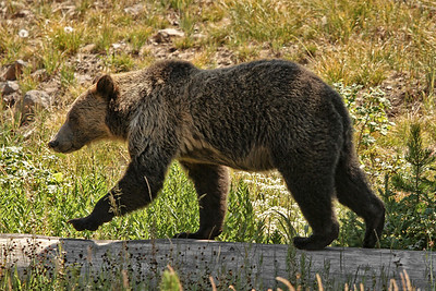 IMG_2129 grizzly bear