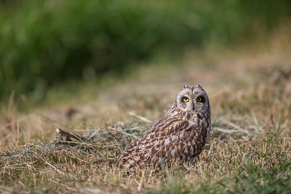 Short-eared Owl / Jorduggla / Asio flammeus