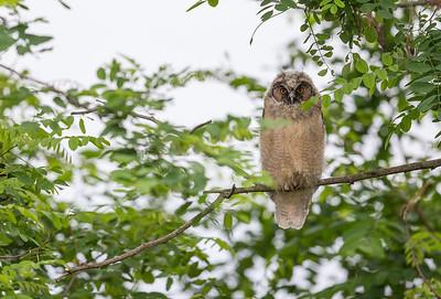 Horned Owl / Hornuggla / Asio otus