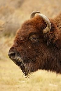 AAA05101 buffalo