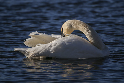 IMG_0368 swan