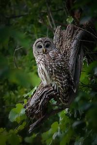 AAA08765 owl 3