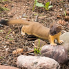 Long Weasel
