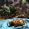 Chanterelles and Lilacs