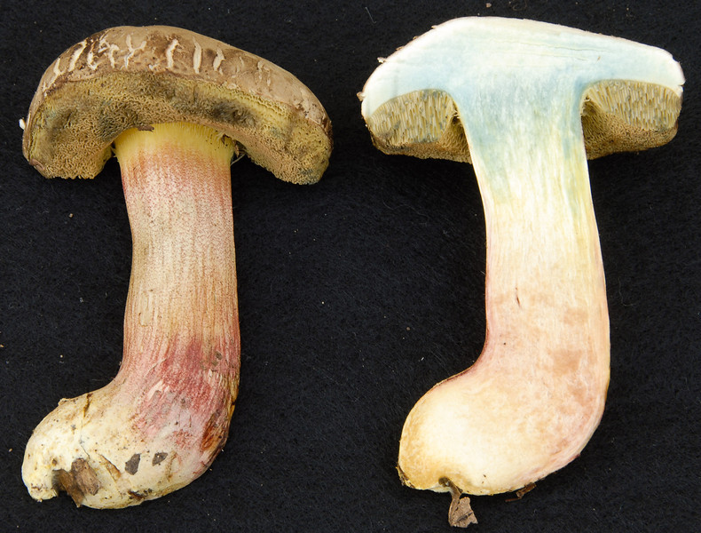 Xerocommelus truncatus