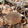Xerocommelus chrysenteron