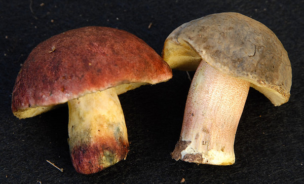 Young mushrooms before their caps start cracking. These are Xerocomellus dryophilus (Oak-loving bolete  or Red cracked-cap bolete) on the left and Xerocomellus truncatus on the right.