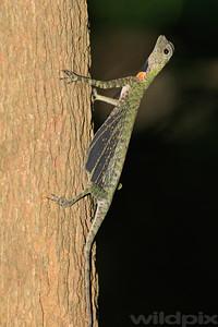 Black-bearded Draco Lizard basking in the sun