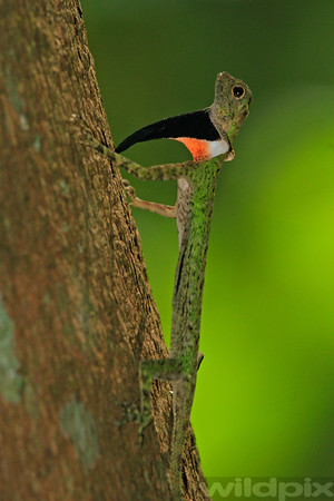 Black-bearded Flying Draco
