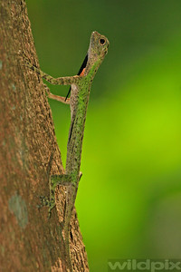 Black-bearded Draco lizard