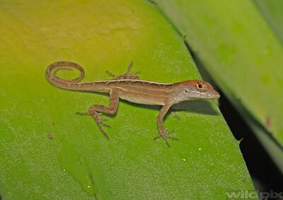 Lizards Gallery