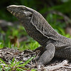Clouded Monitor Lizard  basking in the sun