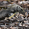 A Clouded Monitor Lizard found something in the undergrowth