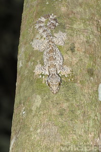 Kulh's Gliding Gecko on a tree