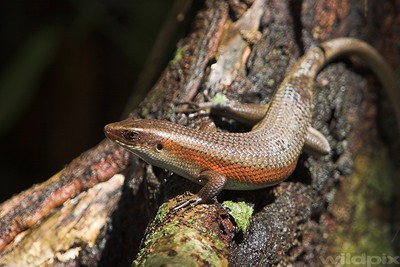 Many lined Sun Skink