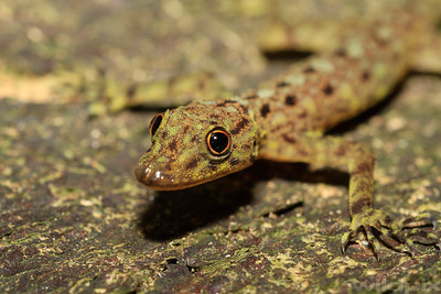 Round pupils of Peninsular Rock Gecko