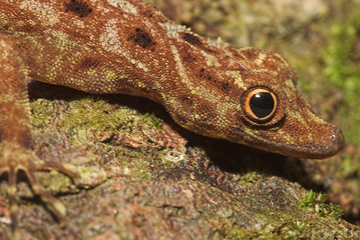 Close-up of Peninsular Rock Gecko