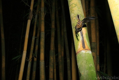 Bamboo bat just got out from the bamboo stem