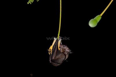 Cave Nectar Bat feeding on nectar of the petai tree flower