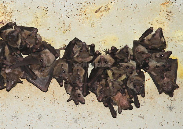 Close-up of Cave Nectar Bats roosting under the highway