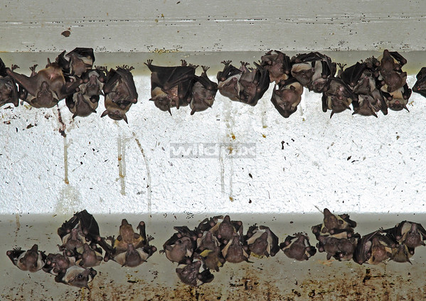 Cave Nectar Bats in colony under a highway