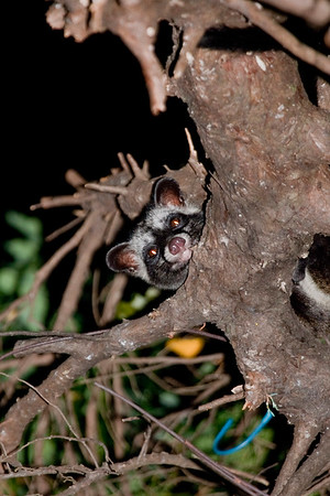 Common Palm Civet on a tree