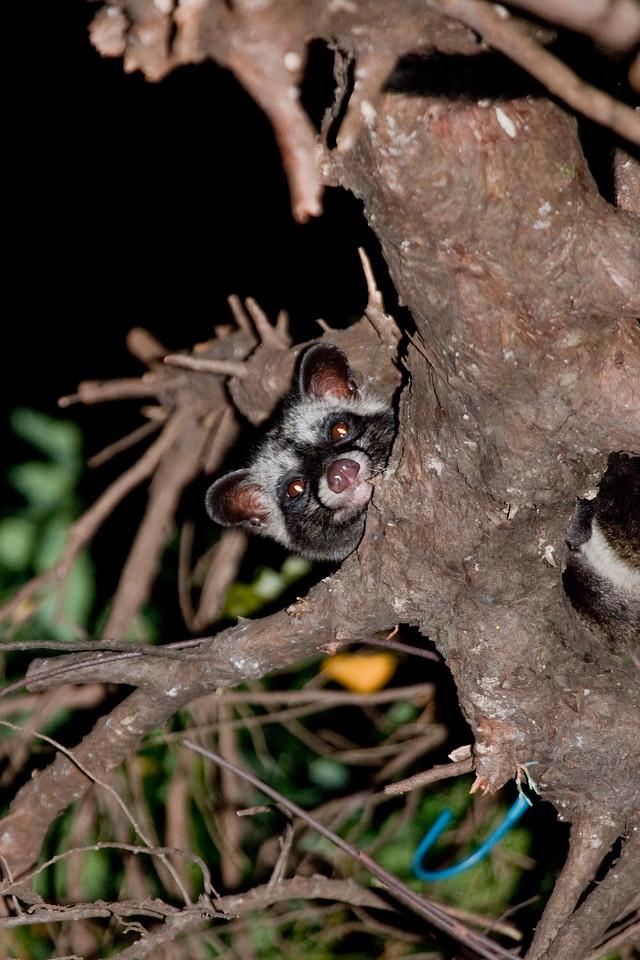Common Palm Civet on a tree