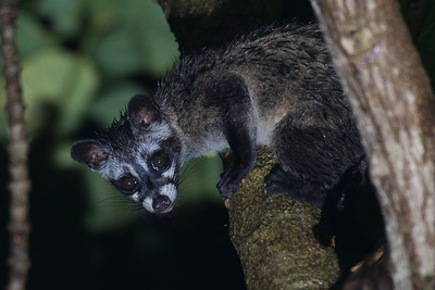 Common Palm Civet on a fig tree