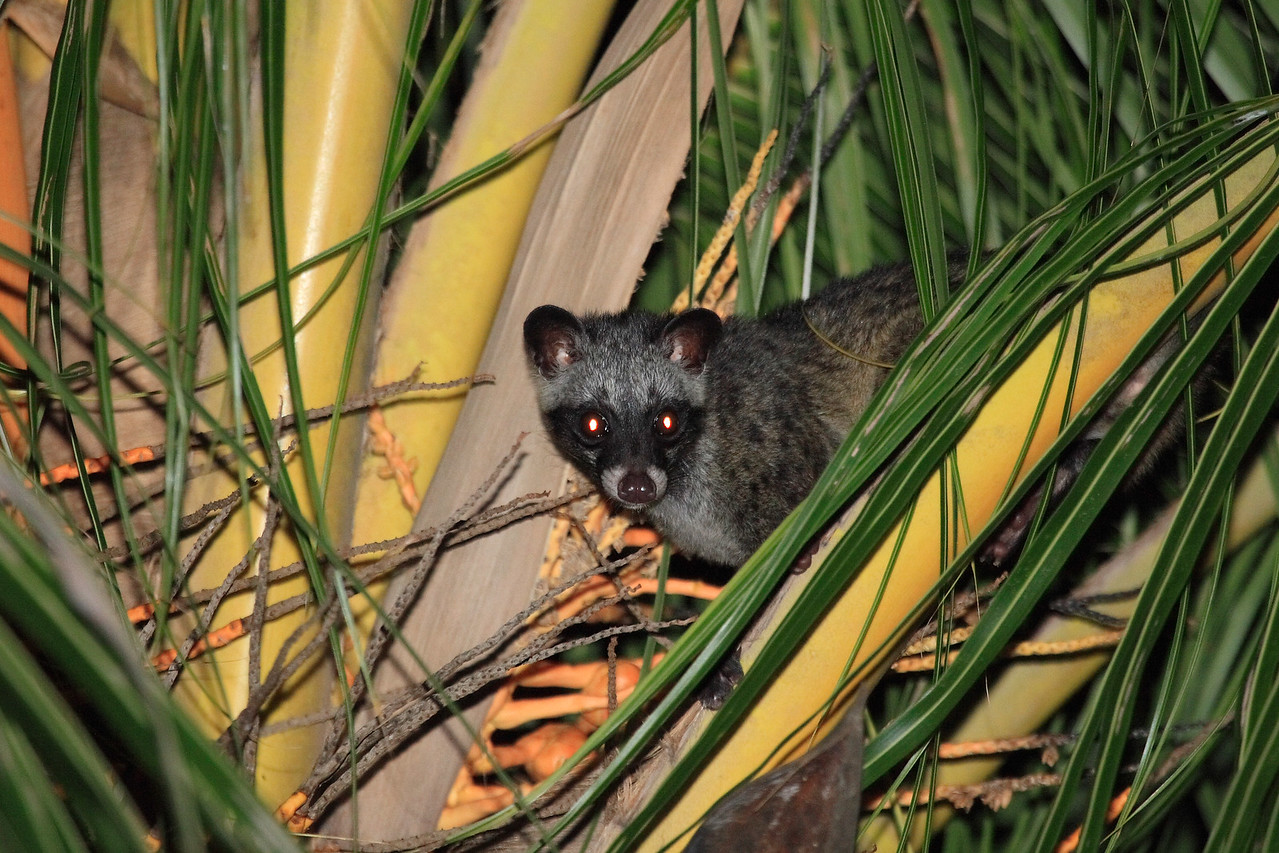 Common Palm Civet on the palm tree