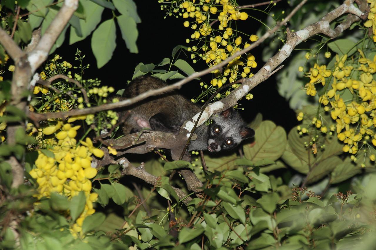 A Common Palm Civet on a tree