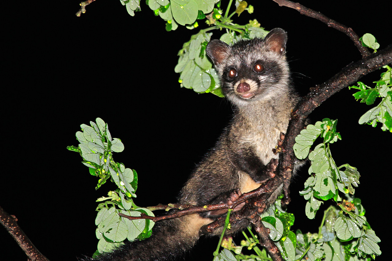 A young common palm civet on a tree