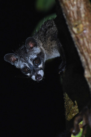 Common Palm Civet checking on me