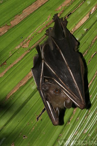 Close-up of fruit bat roosting on palm leaf