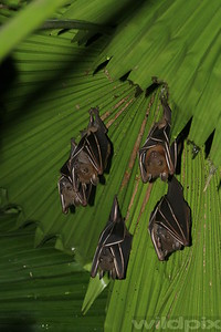 A roosting family of fruit bat