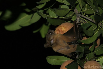 Fruit bat on chiku