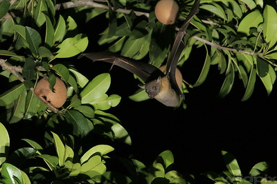 Fruit bat in-flight towards a partial eaten chiku