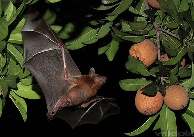 Common Fruit Bat flying towards a ripe chiku