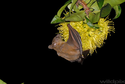 A Common Fruit Bat feeding on nectar of golden penda flowers