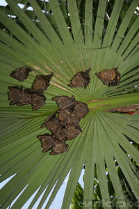 A family of fruit bats  roosting under a leaf of palm tree