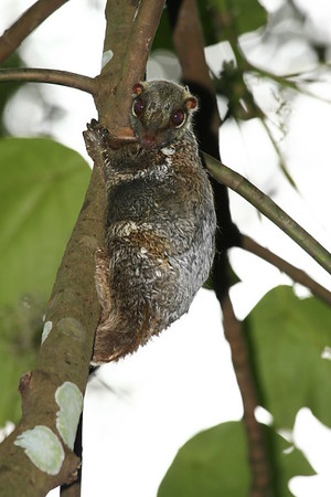 A young malayan colugo looking down from a tree