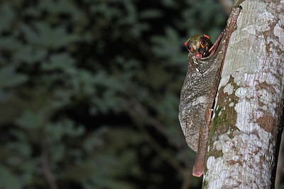 Malayan Colugo or Flying Lemur ( Singapore )