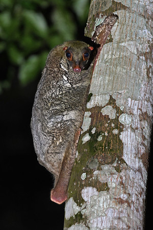 Malayan Colugo checking out on me