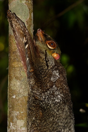 Malayan Colugo keeping still