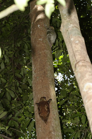Malayan Colugo Pair on the same tree