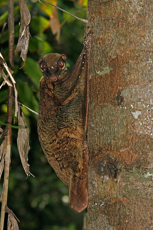 A reddish brown adult colugo on a tree trunk