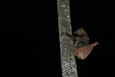 Malayan colugo with a cub taking a poo