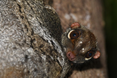 A curious young colugo emerges from the membrane of an adult