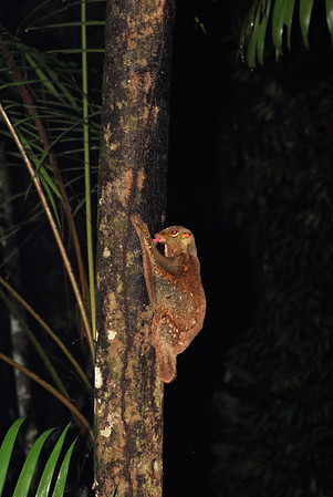 Malayan Colugo licking on lichen on a tree